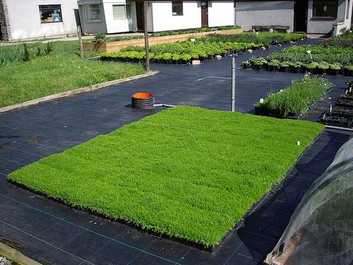savvyhousekeeping chamomile lawn