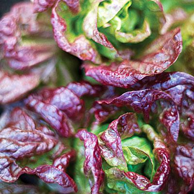 savvyhousekeeping lettuce