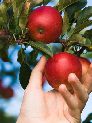 savvyhousekeeping pick your own apple farms