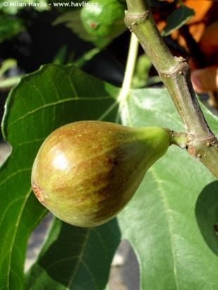 savvyhousekeeping planting vegetable garden fig tree