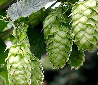 savvyhouskeeping growing planting vegetable garden hops plant beer
