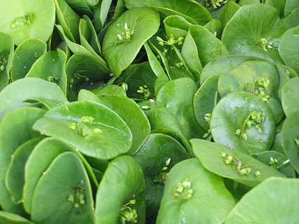savvyhousekeeping food foraging edible weeds miner's lettuce