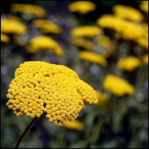 savvyhousekeeping good insects predatory bugs beneficial garden yarrow attracts yard