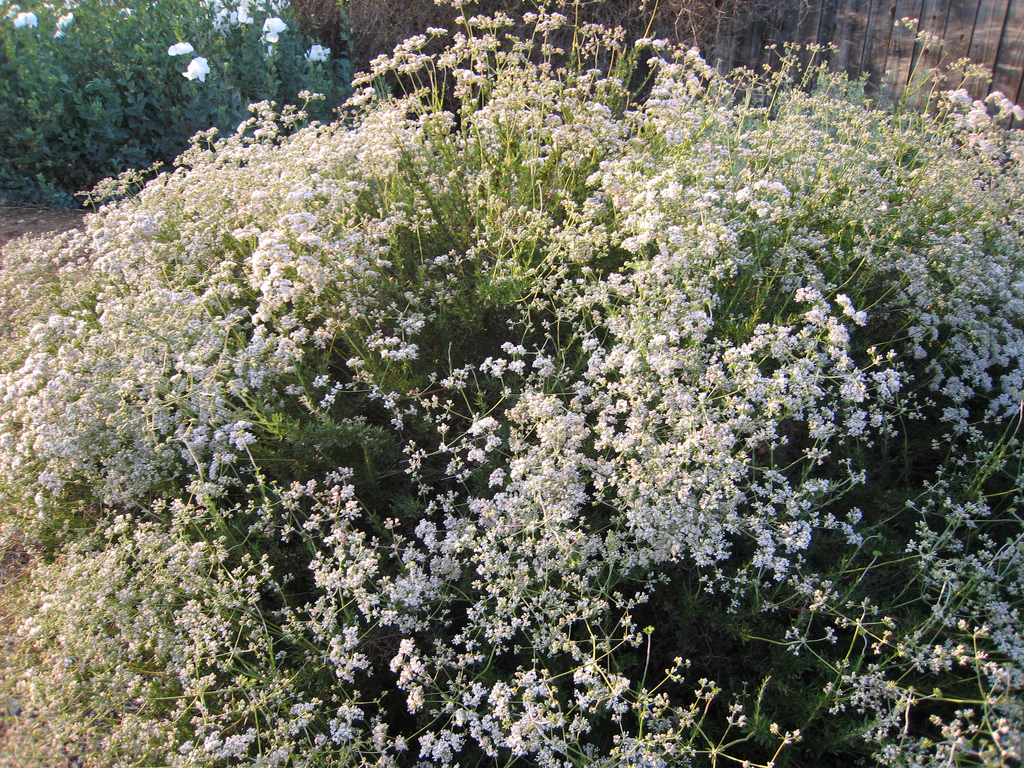 savvyhousekeeping good insects predatory bugs beneficial garden buckwheat attracts yard