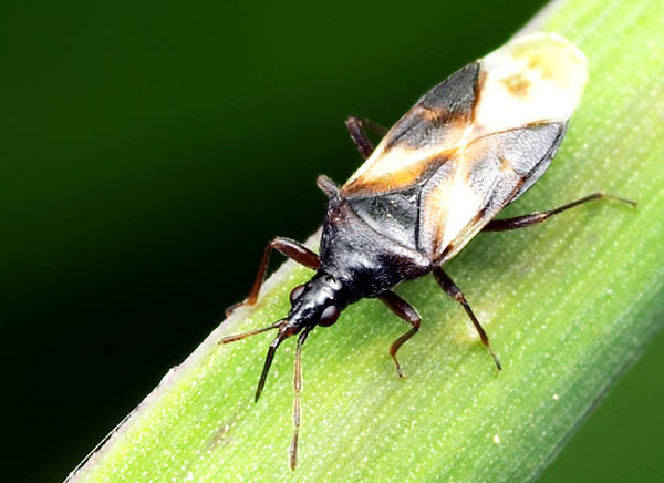 savvyhousekeeping good insects predatory bugs beneficial garden pirate minute attracts yard