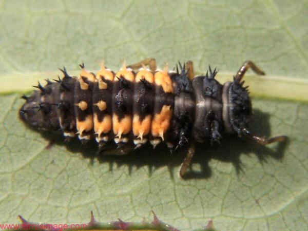 savvyhousekeeping good insects predatory bugs beneficial garden ladybug larva larvae attracts yard