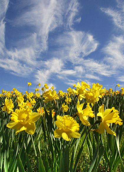 savvyhousekeeping daffodils planting in fall gopher barrier pest resistant
