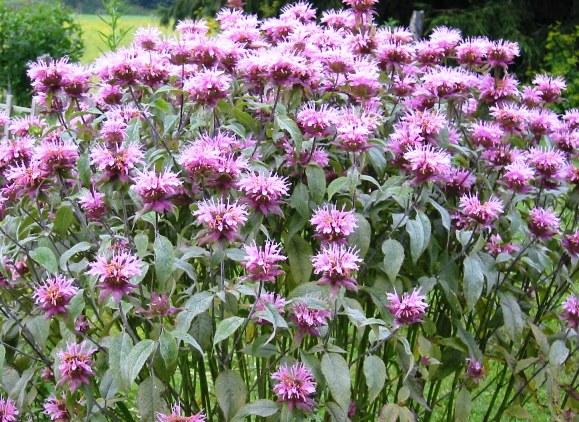 savvyhousekeeping flowers that attract hummingbirds columbine fuschia butterfly bush trumpet vine