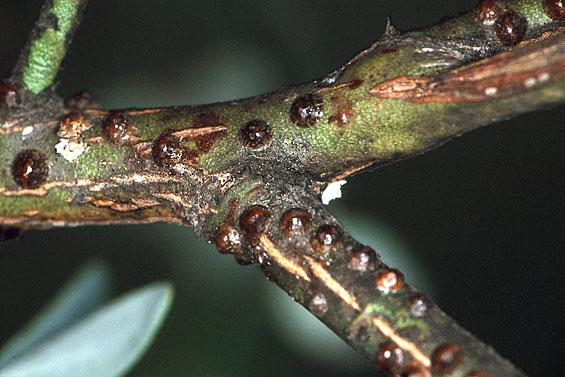 Savvy Housekeeping » Keeping Ants Off Fruit Trees