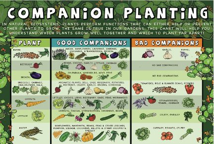 Check Out This Chart On Companion Planting Click The Image For Full Version